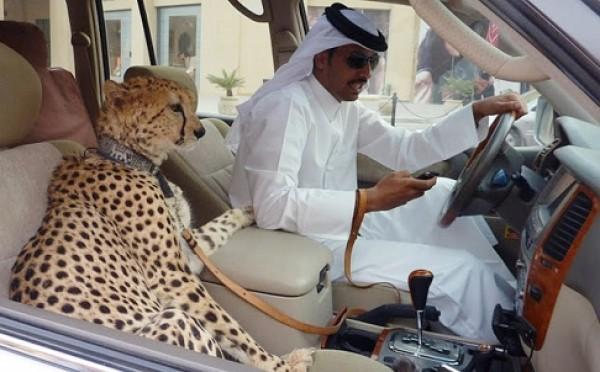 Zdjęcie przedstawia mężczyznę w tradcyjnym arabskim stroju, który siedzi w luksusowym samochodzie, a na siedzeniu pasażera znajduje się gepard na smyczy.