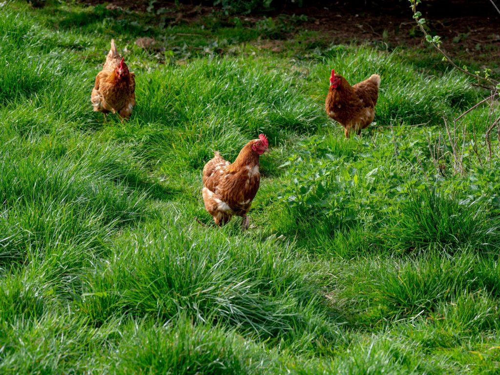 trzy kury chodzą po trawie na wsi